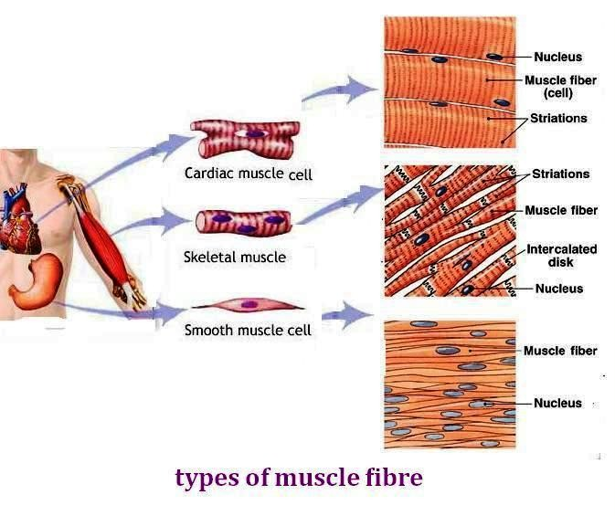 human body - mrs. snell's website, Muscles